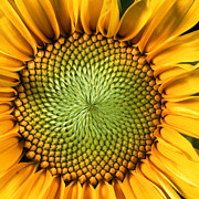 Full Frame Metal Prints - Sunflower Metal Print by John Foxx