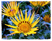 Disk Flowers Framed Prints - Sunflower Joy Framed Print by Judi Bagwell