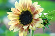 All - Sunflower by Kimberly Gonzales