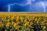 Thunderstorms Framed Prints - Sunflower Lightning Field  Framed Print by James Bo Insogna