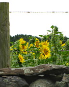 Buttonwood Farm Posters - Sunflower  Poster by Lisa Jayne Konopka