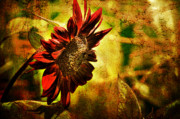 Red Flower Digital Art - Sunflower by Lois Bryan