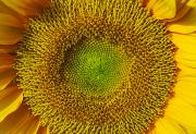 Disc Posters - Sunflower Macro Poster by Joe Carini - Printscapes
