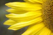 Ski Art Photo Posters - Sunflower Poster by Mary Van de Ven - Printscapes