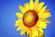 Yellow Sky Prints - Sunflower Print by Mbbirdy