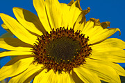 Clear Sky Originals - Sunflower by Michel Soucy