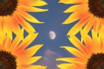 Office Wall Posters - Sunflower Moon Poster by James Bo Insogna