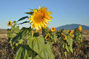 Fauna Originals - Sunflower Morning by Brent Easley