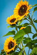 Debbie Karnes Prints - Sunflower Morning Print by Debbie Karnes