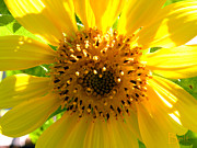Flower Gardens Framed Prints - Sunflower No.10 Framed Print by Christine Belt