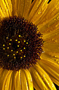 Dew Originals - Sunflower Number 2 by Steve Gadomski