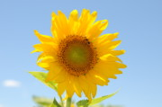 Bluesky Framed Prints - Sunflower Framed Print by Patrick  Short