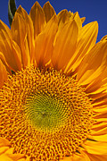 Close Up Floral Prints - Sunflower petals Print by Garry Gay