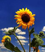 Landscape Trees Prints - Sunflower Print by Pete Hellmann