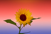 Cannon Prints - Sunflower Power Print by Bill Cannon