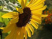 Sunflower Profile Print by Anna Lisa Yoder