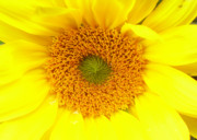 Sonnenblume Prints - Sunflower Print by Ramon Labusch