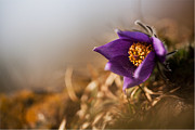 Common Pasque Flower Prints - Sunflower Print by Rikard  Olsson