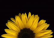 Scanography Originals - Sunflower Rising by Deborah J Humphries