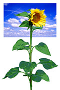 Robert Hudnall - Sunflower