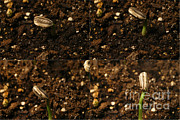 Germinate Prints - Sunflower Seedling Growth Sequence Print by Ted Kinsman