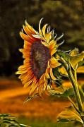 Floral Framed Prints - Sunflower Series Framed Print by Wendy Mogul