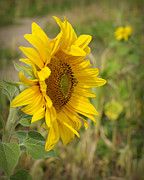 Linda Mishler - Sunflower Show Off