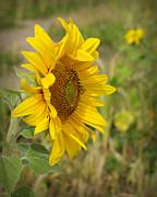 Sunflower Show Off Print by Linda Mishler