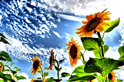 Summer Scenes Metal Prints - Sunflower Sky Metal Print by Emily Stauring