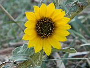 Fort Collins Metal Prints - Sunflower Smile Metal Print by Sara  Mayer
