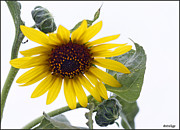 Stellina Giannitsi - Sunflower