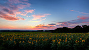 New England Sunset Posters - Sunflower Sunset Poster by Bill  Wakeley