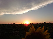 Evening Flower Originals - Sunflower Sunset by Brian  Maloney