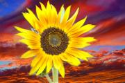 Striking Photography Prints - Sunflower Sunset Print by James Bo Insogna