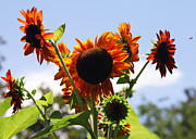 Summer Flowers Photos - Sunflower Symphony by Karen Wiles