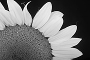 Floral Photos Prints - Sunflower Three Quarter Print by James Bo Insogna