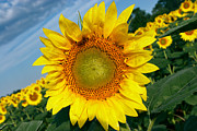 Sunflower Art - Sunflower Tilt by Susan Isakson