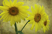 Yellow Sunflowers Prints - Sunflower Trio Print by Diane Schuster