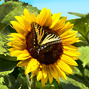 Visitor Prints - Sunflower Visitor Print by Diane E Berry