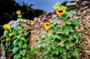 Old Wall Digital Art Prints - Sunflower Wall Print by Bill Cannon