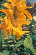 K Joann Russell Art - Sunflower Watercolor Beautiful Paintings of Flowers by K Joann Russell