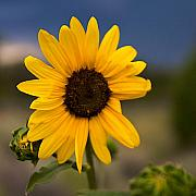 Taos Prints - Sunflower Print by William Wetmore
