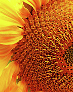 Sun Flowers Framed Prints - Sunflower Framed Print by Wingsdomain Art and Photography