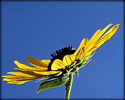 Floral Photographs Posters - Sunflower with Blue Background - II Poster by Tam Graff