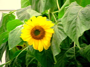 Amy Bradley - Sunflower Within Leaves