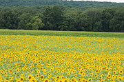 Buttonwood Farm Photo Posters - Sunflowers 2 Poster by Ron Smith