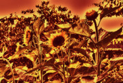 Canada Photos - Sunflowers 7a by Lawrence Christopher