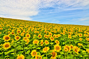 Large Sunflower Posters - Sunflowers Poster by Adithya Anand