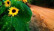 Ronnie Glover Art - Sunflowers along a Country Road by Ronnie Glover