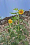 Sunflowers Digital Art - Sunflowers and a Stone Wall by Bill Cannon